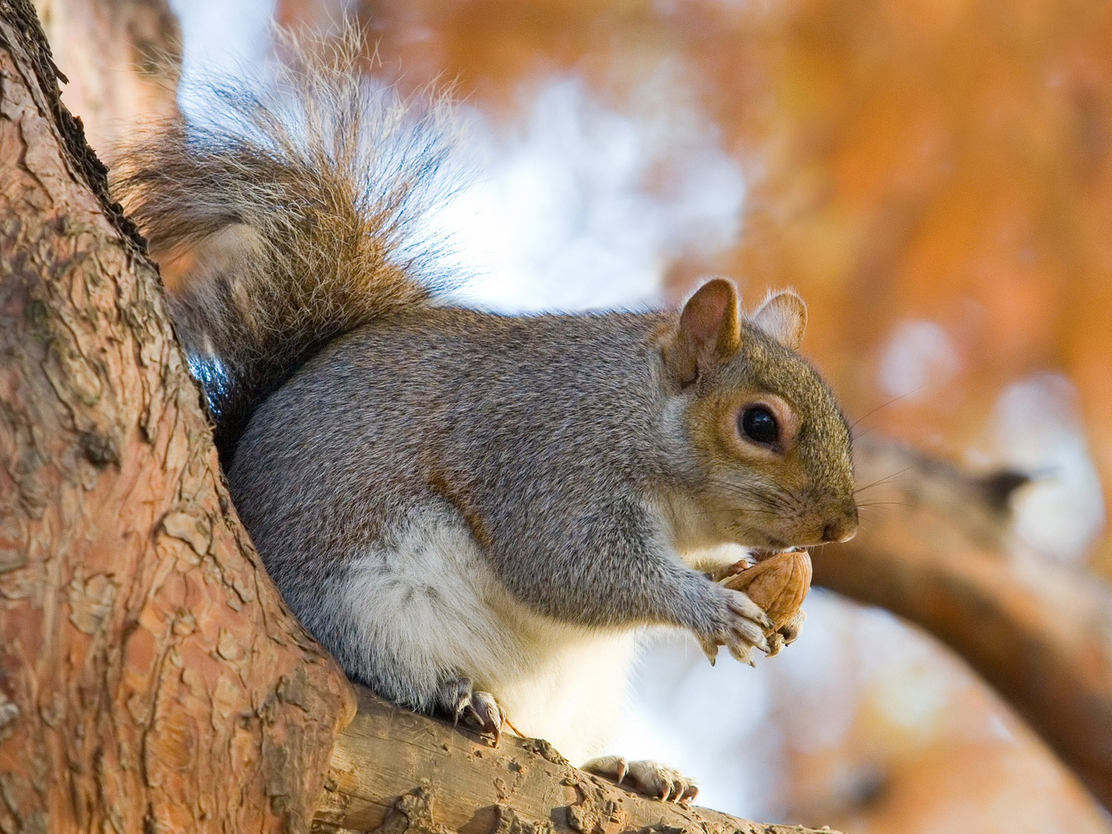 Squirrel with muscles